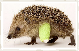 Hedgehog with broken leg in cast